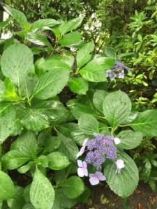 神泉苑 紫陽花