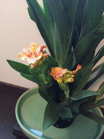 祇園祭の花 檜扇