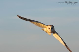 Barn Owl In The Evening Sun