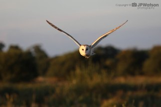Barn Owl In The Late Evening Sun