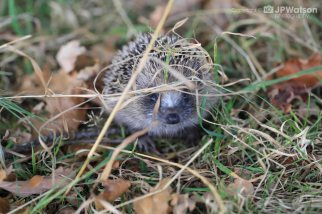 Hedgehog Modelling For Me