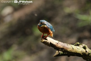 Kingfisher Ready For The Off