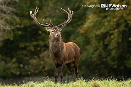 Amazing Red Stag
