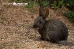 A Wild Rabbit
