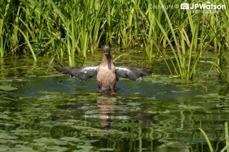 Female Duck Doing Some Ballet Moves