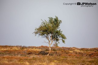 A Lone Tree On The North Yorkshire Moors