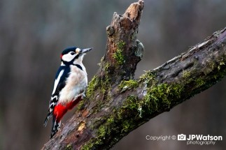 Great Spotted Woodpecker In Profile