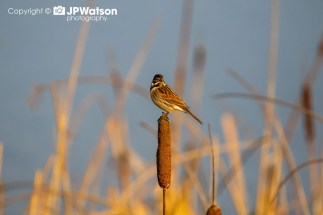 Reed Bunting Looking Colourful