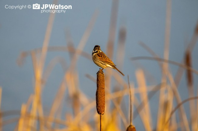 Reed-Bunting-Looking-Colourful