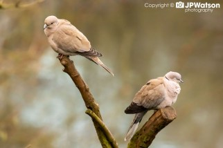 A Pair Of Collared Doves