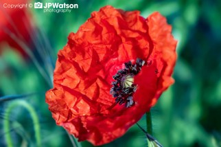 Colourful Poppy