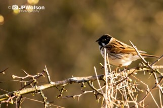Reed Bunting In The Morning Sunshine