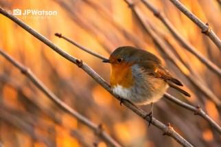 Sunlight Robin
