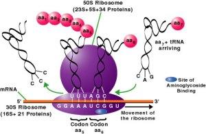 ribosome2