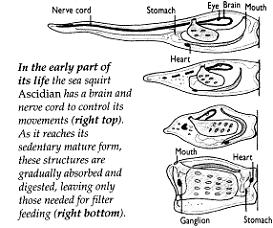ascidian