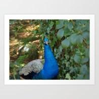 wildlife, animal, photo, photography, photograph, peacock, bird, peacock in the woods