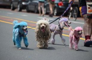 Like Diamond Dogs, but snugglier. Philadelphia Pride Parade 2013