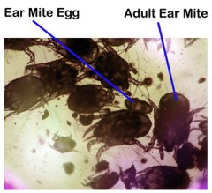 earmite-jpg-rozzie-may-animal-center