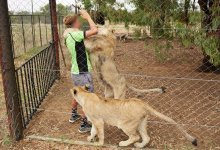 News24.com | Big cat facilities 'exploit workers', says animal rights report