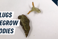 Deadpool-luxuriate in slugs chop off heads to grow unique, extra healthy bodies