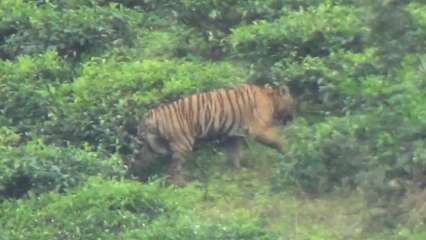 Hunting order issued for a wild tiger in Mudumalai as officials say capturing is top priority