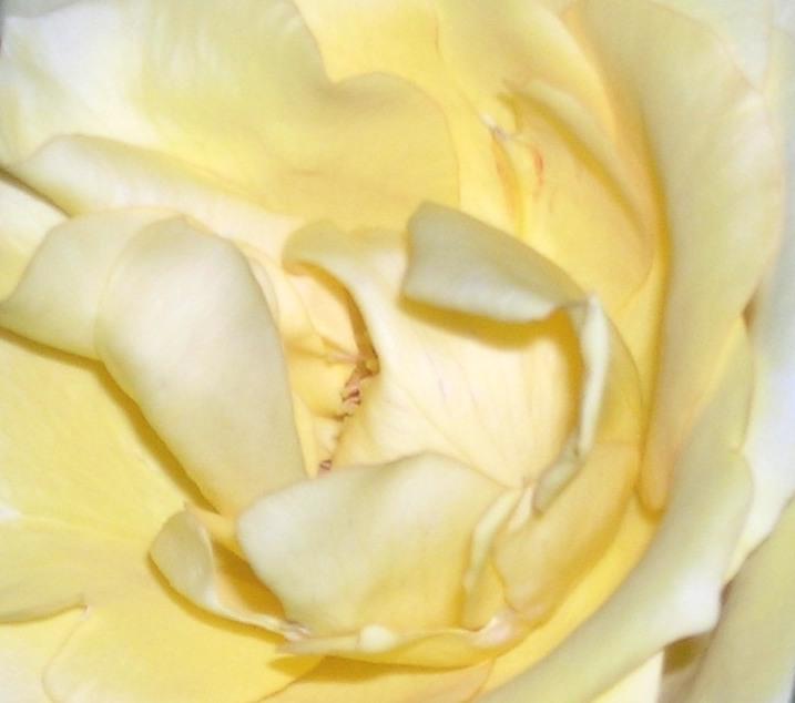 Yellow Roses Grace My World Lately