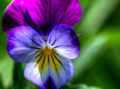 Johny Jump Up Flower