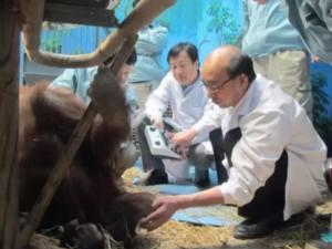 オランウータンの鍼灸治療|JTCVM国際中獣医学院日本校