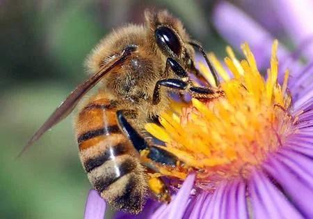 abeille en train de butiner