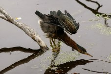 Wildlfife photography - Young green heron.