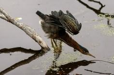 Wildlfife photography - Young green heron.