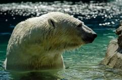 Wildlfife photography - Polar bear at the Toronto Zoo.