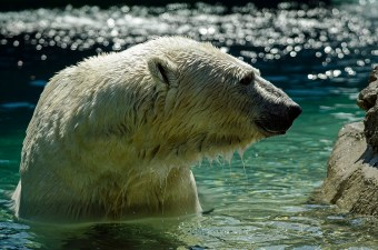 Wildlfife photography - Polar bear at the Toronto Zoo.