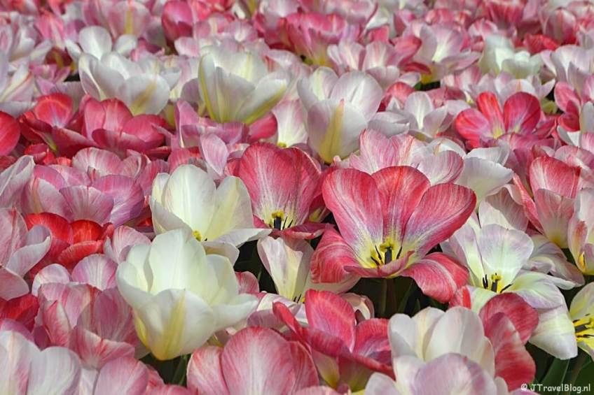 April 2021: Tulpen in De Zilk/Bollenstreek