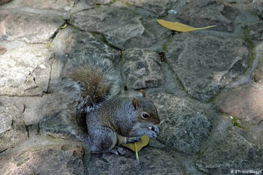 Een eekhoorn in Company's Garden in Kaapstad