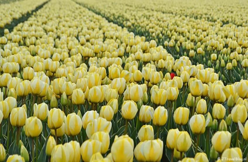 Geel-witte tulpen aan de Zilkerbinnenweg tijdens de Bollenstreekwandeling rond De Zilk