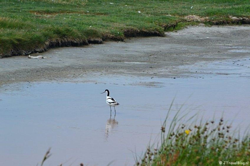 Een kluut in natuurgebied Wagejot op Texel