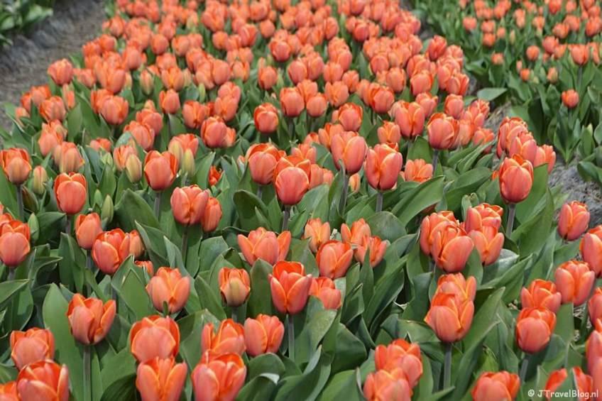 Oranje tulpen aan de Delfweg in Noordwijkerhout tijdens de Bollenstreekwandeling rond De Zilk