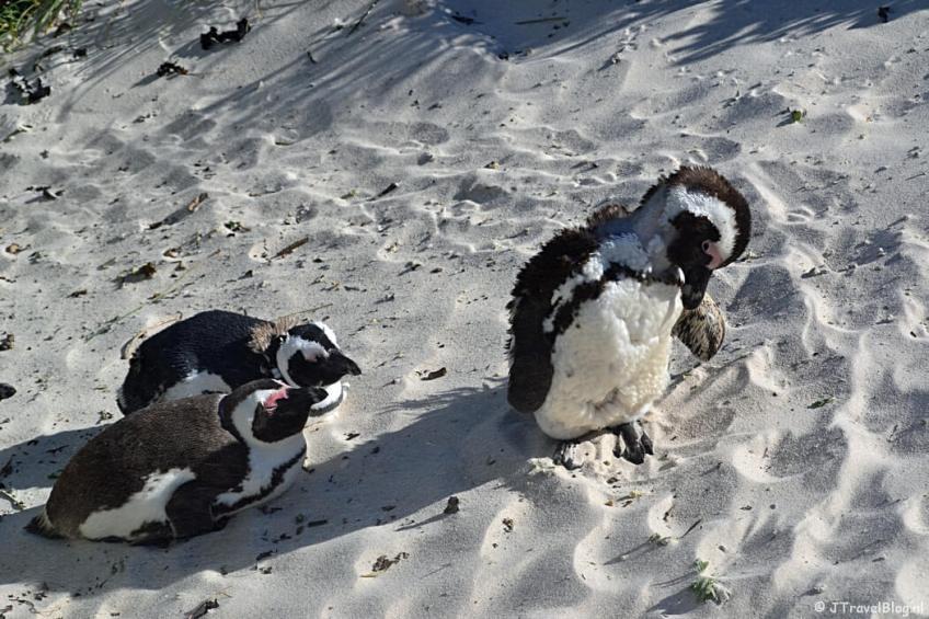 Pinguïns in Boulders Beach op het Kaapse Schiereiland