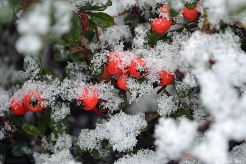 Fotoblog met rode foto's: Rode bessen in de sneeuw