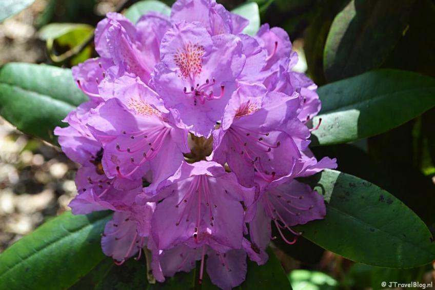Rododendron in Wandelbos Groenendaal in Heemstede