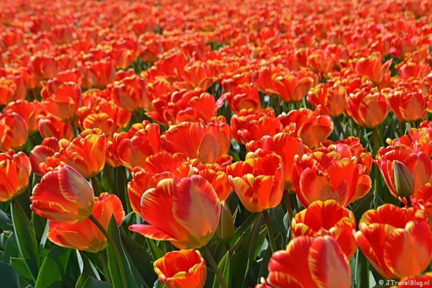 Rood-gele tulpen aan de Veenenburgerlaan tijdens de Bollenstreekwandeling rond De Zilk