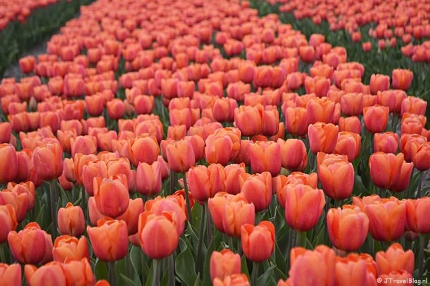 Rood-oranje tulpen aan de Zilkerbinnenweg tijdens de Bollenstreekwandeling rond De Zilk