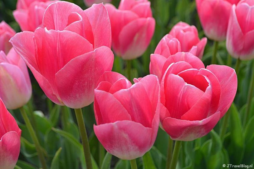 Roze tulpen aan de 3e Loosterweg in Hillegom op weg naar huis van de Trage Tocht Lisse