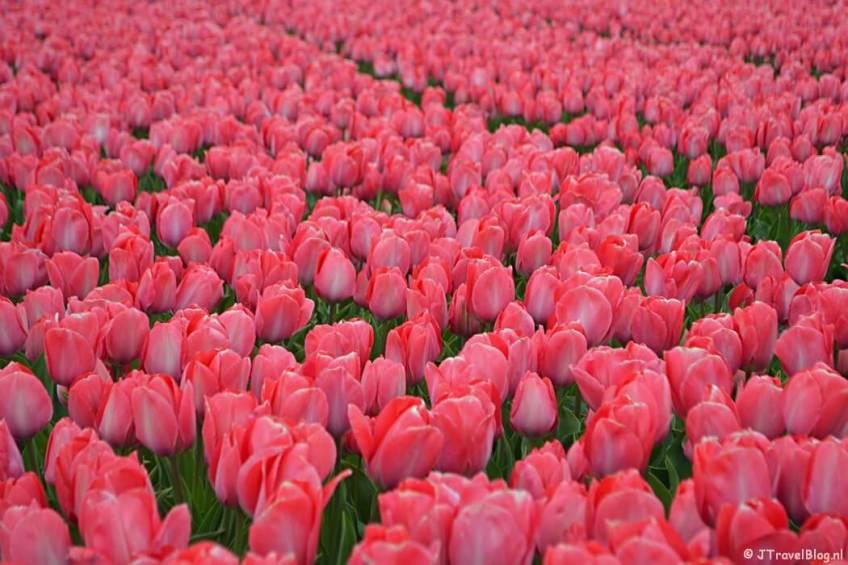 Roze tulpen in Hillegom
