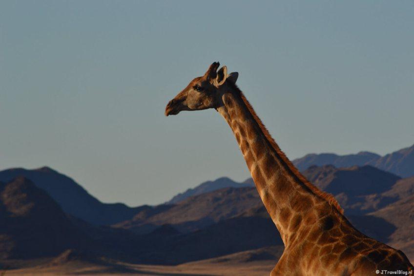 Een giraffe tijdens de Sundowner bij de Sossusvlei