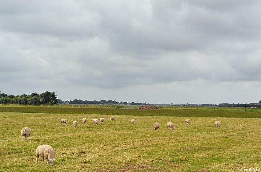 Schapen net buiten Oosterend op Texel