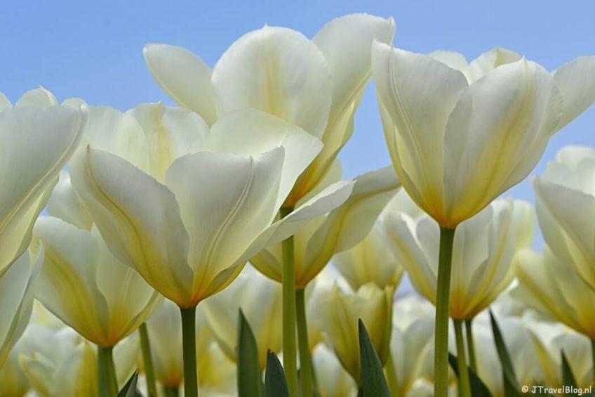 Tulpen in De Zilk/Bollenstreek