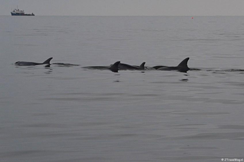 Dolfijnen tijdens de boottocht bij Walvis Bay