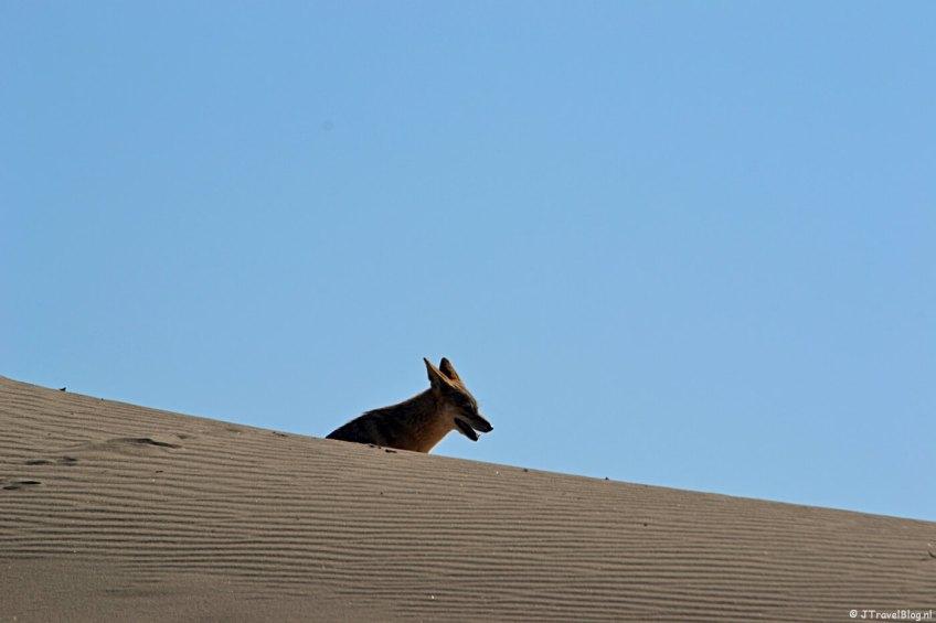 Een jakhals tijdens de Living Desert Tour in de duinen bij Walvis Bay